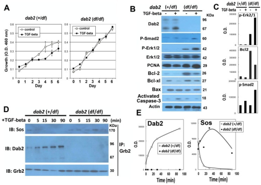 Dab2 modulates TGF-beta-stimulated growth regulation and signaling in primary mammary epithelial cells.Mammary epithelial cells were prepared from pregnant control (+/df) and dab2 conditional knockout (df/df) mice inheriting Sox2-Cre. The cells were treated with or without TGF-beta (10 ng/ml). (A) Growth of the cells was determined by WST assay over a 6-day period. Student-t test indicated that the difference in cell growth was statistically significant for at day 3 to 6 for dab2 (+/df) (p<0.005) but not dab2 (df/df) cells. (B) Protein lysates prepared from the primary cultures were analyzed by Western blots for Dab2, phospho-Smad2, E-cadherin, N-cadherin, phospho-Erk1/2, total Erk1/2, PCNA, Bcl-2, Bcl-xl, Bax, activated caspase-3, and beta-actin. (C) The relative protein level was quantified from the Western blots using NIH Image J software, and the values of the optical density (O.D.) critical markers (p-Smad2, p = Erk1/2, and Bcl-2) were compared. (D) Co-immunoprecipitation was performed to determine the association between Grb2 and Sos or Dab2. The primary cells were stimulated by TGF-beta for a time course of 0, 5, 15, 30, and 90 min. At each time point, the monolayer was washed with ice-cold PBS, lysed, and the post-nuclear supernatants were used for immunoprecipitation with antibodies against Grb2. The eluted proteins from the immunoprecipitation were separated by SDS-PAGE, and immunoprobed for Sos, Dab2, and Grb2. The immunoprecipitation experiments were performed twice and similar results were obtained. (E) Relative Dab2 and Sos protein amounts in the Western blot were estimated using NIH Image J program and the O.D. values were plotted.