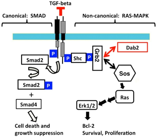 Schematic illustration of a working model for Dab2 in modulation of TGF-beta pathway.Canonical TGF-beta signaling pathway consists of Smad phosphorylation and mediation of transcriptional regulation, leading to cell death and growth suppression, representing a tumor suppressor activity. The non-canonical route includes the activation of Ras/MAPK pathway as a result of phosphorylation and binding of TGF-beta receptor to Shc and consequently recruitment of Grb2 and Sos. TGF-beta-stimulated activation of Ras/MAPK pathway induces expression of genes involved in cell survival and growth. Dab2 modulates TGF-beta signaling by sequestering Grb2 from Sos, resulting in a reduction of Ras/MAPK activation yet allowing Smad-mediated gene transcription.