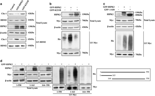 HIPK2 promotes Che-1 ubiquitylation. (a) HCT116 cells were transiently transfected with GFP-HIPK2 or GFP-K221R expression vectors. TCEs were immunoprecipitated with anti-MDM2 antibody and analyzed by WB with the indicated Abs. (b) HEK293 cells were co-transfected with Myc-Che-1, Ha-Ubiquitin and GFP-HIPK2 or GFP-K221R and treated with 10 μM MG132 for 16 h. TCEs were immunoprecipitated with anti-Myc monoclonal antibody and analyzed by WB with the indicated Abs. (c) HEK293 cells transfected with Myc-Che-1, Ha-Ubiquitin and GFP-HIPK2 or GFP-HIPK2 (1–838) expression vectors and treated with MG132 as in B. TCEs were immunoprecipitated as in B and analyzed by WB with the indicated Abs. (d) HEK293 cells were transiently transfected with indicated Che-1 deletion mutants, Ha-Ubiquitin and GFP-HIPK2, and treated with MG132 as in B. TCEs were immunoprecipitated as in b and analyzed by WB with the indicated Abs. In the right panel, a schematic representation of full-length Che-1 protein and two of its deletion mutants is provided
