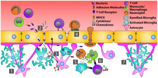 Orchestration of the immune response during bacterial infection of the CNS. In the quiescent CNS (1), bacteria typically gain entry by transcytosis across the endothelial cells of the BBB, or by passing in between endothelial cells where tight junctions have been disrupted (2). Common bacterial motifs (PAMPs) are recognized by pattern recognition receptors (PRRs) on microglia and astrocytes resulting in their activation. This causes changes in glial cell morphology, enhanced production of inflammatory mediators that recruit neutrophils, monocytes, and T cells, and increased endothelial cell expression of adhesion molecules, including ICAM-1 and VCAM-1 (3). Circulating neutrophils, monocytes, and T cells then bind and extravasate into the infected CNS (4). Neutrophils directly phagocytize and kill bacteria through the release of defensins, lytic enzymes, and anti-microbial peptides (5). Neutrophils also produce MMPs, IL-6, IL-8, CXCL9, and CXCL10 that further open the BBB and shift the chemotactic profile toward the recruitment of T cells. Bacterial antigens are presented to T cells by microglia and/or infiltrating monocytes, transitioning from innate immunity toward an adaptive immune response (6). Resolution of bacterial infection returns tight junctions to normal and microglia and astrocytes to a resting state (7).