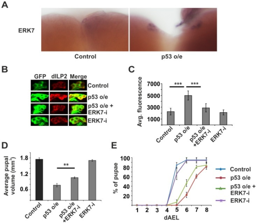 ERK7 acts downstream of p53.(A) Overexpression of p53 in the IPCs (dILP2-Gal4) leads to increased erk7 mRNA levels as detected by in situ hybridization. (B, C) Knockdown of ERK7 suppresses dILP2 accumulation following p53 overexpression. Error bars represent standard deviation, (N≥10 brains). (D) Knockdown of ERK7 in the IPCs rescues the small pupal size caused by p53 overexpression. Error bars represent standard deviation (N = 3, 10 pupae/group). (E) ERK7 depletion in the IPCs partially rescues the developmental delay caused by p53 overexpression. Error bars represent standard deviation (N = 4, 30 larvae/group). **p<0.01, ***p<0.001 (Student's t-test).