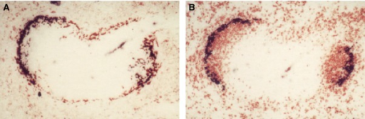 A subpopulation of CD169+ metallophils binds the cysteine-rich domain of the mannose receptor (CyR-Fc) (A), and associates with IgD+ B lymphocytes (B). Images courtesy of L. Martinez-Pomares. Reference 74 should be consulted for further details.