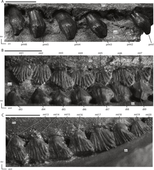 Premaxillary and maxillary dentition of NCSM 15728.(A) right premaxillary dentition in lateral view; (B) anterior portion of left maxillary dentition in ventrolateral view; (C) posterior portion of left maxillary dentition in ventrolateral view. The directional arrows indicate the orientation of the specimen in each view. Abbreviations: ant, anterior; de, dentary; dor, dorsal; dt, dentary tooth/teeth; mt, maxillary tooth/teeth; mx, maxilla; pm, premaxilla; pmt, premaxillary tooth/teeth; post, posterior; sed, sediment. Scale bars equal 1 cm.