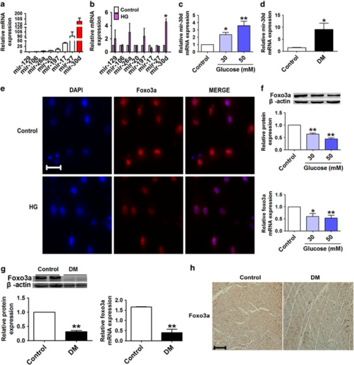 Mir-30d is upregulated and foxo3a is downregulated in high-glucose-treated cardiomyocytes and diabetic rats. (a and b) Relative mRNA levels of mir-129, mir-106, mir-26a, mir-20, mir-197, mir-17, mir-27 and mir-30d in cardiomyocytes under normal and high-glucose (50 mM) conditions. (c and d) Mir-30d levels measured by real-time PCR both in cardiomyocytes treated with different concentrations of glucose (control, 30 and 50 mM) and in the hearts of control and DM rats. (e) Immunofluorescence results ( × 400) indicating the expression of foxo3a in normal glucose (control) and high-glucose-induced cardiomyocytes. Blue: nuclear staining (DAPI); red: foxo3a staining; violet: merged images. (f) Expression of foxo3a at protein and mRNA levels in cardiomyocytes treated with different concentrations of glucose. (g) Relative protein and mRNA levels of foxo3a in the hearts of control and DM rats. (h) Foxo3a expression of consecutive sections of hearts in control and DM rats assessed by immunohistochemical staining. Scale bar: 20 μm. n=3. *P<0.05 & **P<0.01 versus control; mean±S.E.M.