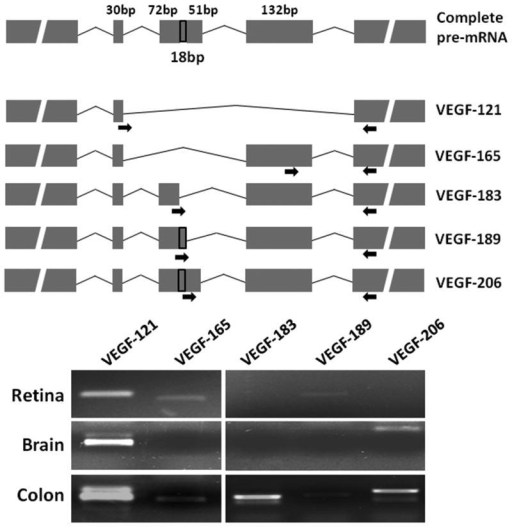 VEGF-A splice variants in the midgestation fetal retinaTop: Schematic shows the complete pre-mRNA and the major splice variants of VEGF-A. The site of the primers is indicated by arrows. Bottom: Representative agarose gels showing PCR products corresponding to the major splice variants in fetal retina, brain, and colon.