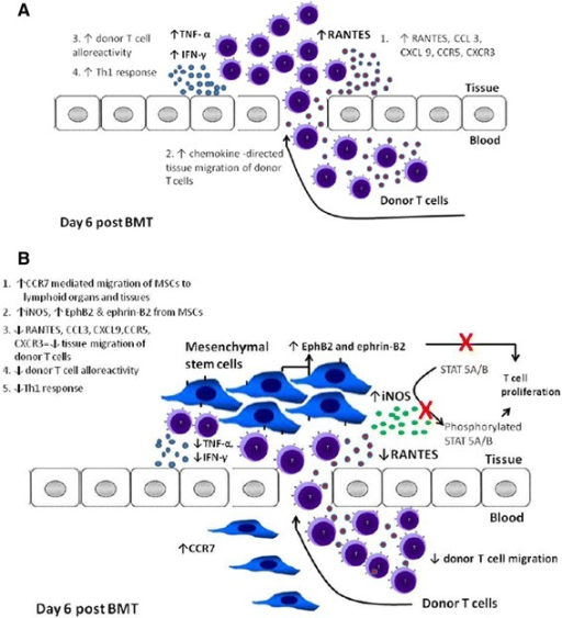 Immunosuppressive mechanisms of hMSCS in GVHD mouse models. (A) In the absence of hMSCs, upregulation of chemokine receptors and ligands causes migration of donor T cells to the target tissues of GVHD causing increased T cell alloreactivity and Th1 response. (B) With hMSC treatment, CCR7 increases migration of hMSCs to lymphoid organs and target tissues, then hMSCs produce soluble mediators (iNOS) causing immunosuppression. These soluble mediators suppress ligands CCL3, RANTES and CXCL9 and corresponding receptors CCR5 and CXCR3 with resultant decresased migration of donor T cells to the target tissues. This subsequently results to decreased TNF-α and IFN- γ. iNOS also suppresses phosphorylation of STAT 5A/B proteins that regulates T cell proliferation. EphB2 and ephrin-B2 which are specifically found in hMSCs also binds with T cells and suppress their proliferation.
