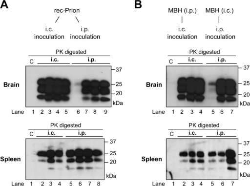 Brain and spleen PrP-res accumulation in rec-Prion inoculated wild-type CD-1 mice.(A) PrP-res in brain (top panel) and spleen (bottom panel) of mice that received i.p. or i.c rec-Prion inoculation as indicated. (B) PrP-res in brain (top panel) and spleen (bottom panel) of mice that received i.p. or i.c inoculation of mouse brain homogenate (MBH) prepared from mice that received rec-Prion transmission. Two inoculated mice were sacrificed before any clinical signs (154 and 152 dpi), and their PK digested samples were separated in lanes 6 (brain) and 5 (spleen) of (A), and lanes 5 (brain and spleen) of (B). C, PK-digested brain or spleen homogenates prepared from age-matched wild-type CD-1 mice as controls.