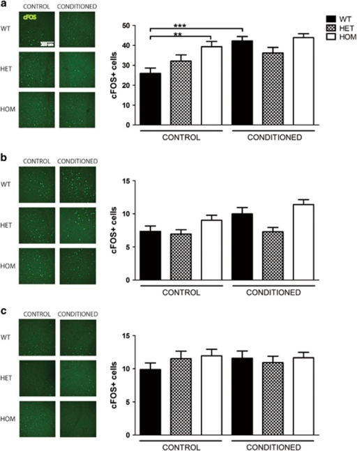 Rapgef6 deletion impairs amygdala neural activation during fear conditioning. (a) Basolateral nucleus of the amygdala cFOS staining was significantly increased in HOM mice over WT at baseline (P<0.01). WT cFOS significantly increased after fear conditioning (P<0.05), but no other genotype had an increase in cFOS. Scale bar, 200 μm for all micrographs. (b) Lateral nucleus cFOS staining was significantly affected by fear conditioning (P<0.0001). Post hoc comparisons of genotype-specific effects within and between fear conditioning groups were not significant (P>0.05). (c) Central nucleus cFOS staining was not significantly affected by genotype or fear conditioning. *P<0.05, **P<0.01 and ***P<0.001. HET, heterozygous; HOM, homozygous; WT, wild type.