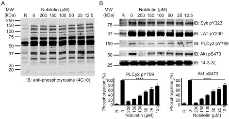 Nobiletin inhibits phosphorylation of PLCγ2 and PKB (Akt). Washed human platelets were stimulated with CRP-XL (1 μg·mL−1) in the absence or presence of various concentrations of nobiletin before the analysis by immunoblotting using anti-phosphotyrosine antibody (A) and phospho-specific antibodies for proteins involved in the GPVI pathway such as Syk pY323, LAT pY200, PLCγ2 pY759 and Akt pS473 (B). Total level of 14-3-3ζ was measured on each sample as a loading control. The blots shown in the figure are representative of four separate experiments. R represents resting platelets. Data presented in (B) represent mean ± SD (n = 4) and P-values were calculated using non-parametric repeated measures anova (Friedman test; ****P < 0.0001).