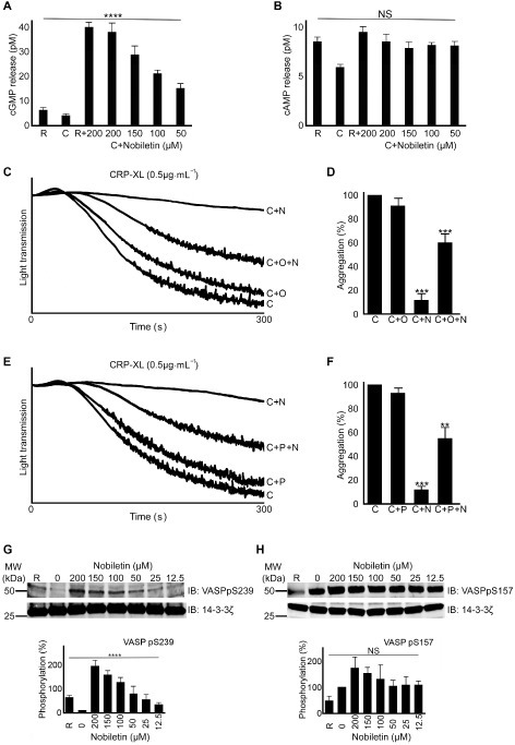 Nobiletin elevates cGMP levels and increases VASP (S239) phosphorylation. The levels of cGMP (A) and cAMP (B) were measured in platelets (PRP) upon stimulation with CRP‐XL (1 μg·mL−1) using elisa kits in the presence or absence of various concentrations of nobiletin. The concentration of cGMP and cAMP was calculated based on standard curves. R, resting; C, CRP‐XL‐treated platelets. Data represent mean ± SD (n = 4) and P‐values were calculated using parametric repeated measures anova (****P < 0.0001). Platelet aggregation was measured using CRP‐XL (0.5 μg·mL−1) together in the presence and absence of 20 μM ODQ, a soluble guanylate cyclase inhibitor (C and D) or 30 μM PKG inhibitor (Rp‐8‐Br‐PET‐cGMPS) (E and F) and 50 μM nobiletin for 5 min. C, O, P and N represent CRP‐XL, ODQ, PKG inhibitor and nobiletin respectively. The level of aggregation obtained with CRP‐XL at 5 min was taken as 100% to calculate the percentage of inhibition. The data from C + N were compared with C and C + O/P + N were compared with C + N. Data represent mean ± SD (n = 3) and P‐values were calculated using Student's t‐test as shown (**P < 0.01 and ***P < 0.001). The effect of various concentrations of nobiletin on phosphorylation of VASP [at positions pS239 (G) and pS157 (H)], a substrate for cyclic nucleotide‐dependent PKs, was analysed in washed platelets upon stimulation with CRP‐XL (1 μg·mL−1) by immunoblotting. The blots are representative of four separate experiments. Data represent mean ± SD (n = 4) and P‐values were calculated using non‐parametric repeated measures anova (Friedman test; ****P < 0.0001).