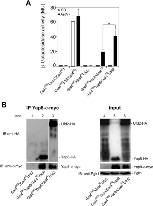 Yap8 interacts with Ufd2 upon arsenic stress. (A) Yeast two-hybrid assays reveal Ufd2 as a Yap8-interaction partner. The Y187 strain was co-transformed with plasmids encoding GAL4DBDLam/GAL4ADT, GAL4DBDp53/GAL4ADT, GAL4DBD/GAL4ADUFD2, GAL4DBDYAP8/GAL4ADor GAL4DBDYAP8/GAL4ADUFD2 and β-galactosidase activity was measured in cells challenged or not with 2 mM As(V) (MU, Miller Units). Values represent the mean±standard deviation (s.d.) of three biological replicates and statistical differences denoted as *P<0.05. (B) Ufd2 co-immunoprecipitates together with Yap8. Y187 cells co-transformed with GAL4DBD/GAL4ADUFD2 (lanes 1 and 4), GAL4DBDYAP8/GAL4ADYAP8 (lanes 2 and 5) or GAL4DBDYAP8/GAL4ADUFD2 (lanes 3 and 6) were exposed to 2 mM As(V) for 60 min and Gal4DBDYap8, bearing a c-myc epitope, was immunoprecipitated with anti-c-myc antibody. Immunoblotting was performed using anti-HA, anti-c-myc and anti-Pgk1 antibodies. A representative experiment is shown. IP, immunoprecipitation; IB, immunoblotting.