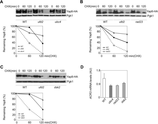 Ubiquitin proteasome pathway (UPP) enzymes Ubc4, Rad23 and Dsk2 do not interfere with Yap8 stability in arsenic-exposed cells. BY4742 wild type (WT), ubc4 (A), rad23 (B) and dsk2 (C) mutant strains expressing Yap8-HA were first exposed to 1.5 mM As(III) for 90 min, washed and subsequently treated with 0.1 mg/ml cycloheximide (CHX) up to 120 min prior to immunoblotting using anti-HA and anti-Pgk1 antibodies. The graphs represent the percentage of remaining Yap8 protein after CHX addition. Representative experiments are shown. (D) ACR3 mRNA levels remain unaltered in ubc4, rad23 and dsk2 mutant cells. The same strains were challenged with 1.5 mM As(III) for 90 min and ACR3 mRNA levels were determined by qRT-PCR (AU, Arbitrary Units). Values represent the mean±s.d. of three biological replicates. No significant statistical differences were observed.