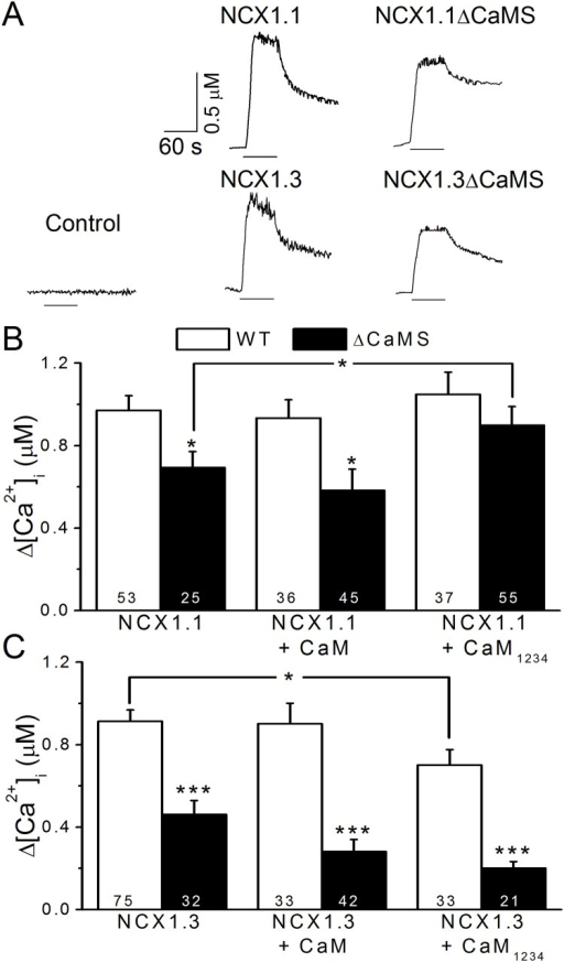 Deletion of the CaMS reduces exchange activity.HEK293T cells expressing NCX1 and mutants were treated with ouabain to elevate the intracellular Na+ concentration. Cells were then locally perfused with NMG buffer for 1 min to induce reverse-mode exchange activity. The [Ca2+]i was calibrated based on changes in fura-2 fluorescence intensities. A. Representative [Ca2+]i traces in single cells expressing different constructs. The black lines under each trace indicate the period of NMG perfusion. Cells transfected with a plasmid missing the exchanger were used as a control. B. The average elevation of [Ca2+]i in cells expressing wild-type NCX1.1 (WT, empty columns) and NCX1.1ΔCaMS (ΔCaMS, filled columns) with CaM or CaM1234 co-expression. C. Average [Ca2+]i responses in cells expressing NCX1.3 WT (empty columns) and NCX1.1ΔCaMS (filled columns) with CaM or CaM1234 co-expression. The digits in each column indicate the sample number. Data are the mean ± SEM pooled from three different sets of cells and analyzed by a one-way ANOVA with Fisher's post hoc test (*: p < 0.05, ***: p < 0.001 compared with WT).
