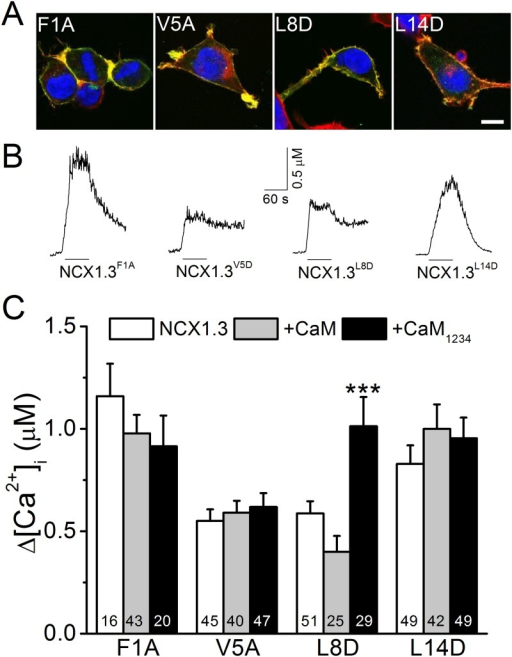 Mutations in the conserved a.a. residues of the NCX1.3 CaMS affect exchange activity.The conserved 1st, 5th, 8th, and 14th a.a. residues of the CaMS of NCX1.3 was independently mutated from F, V, L, and L, to A (F1A), A (V5A), D (L8D), and D (L14D), respectively. We measured the reverse-mode exchange activity of HEK293T cells expressing constructs with or without co-expression of CaM or CaM1234. A. Merged images of cells expressing various NCX1.1 mutants stained with phalloidin (Red), DAPI (Blue), and an antibody against the V5 epitope tag (Green) to visualize actin filaments, nuclear DNA, and the exchanger, respectively. Scale bar: 10 μm. B. The [Ca2+]i responses of single HEK293T cells expressing various constructs. The black lines under each trace indicate the period of NMG perfusion. C. Average [Ca2+]i elevations in cells expressing various NCX1.3 mutants with or without co-expression of CaM or CaM1234. The digits in each column indicate the number of cells in each group. Data shown are the mean ± SEM pooled from three different batches of cells and analyzed by a one-way ANOVA with Fisher's post hoc test (***: p < 0.001 when compared with the corresponding group expressing only the NCX1.3 mutant).