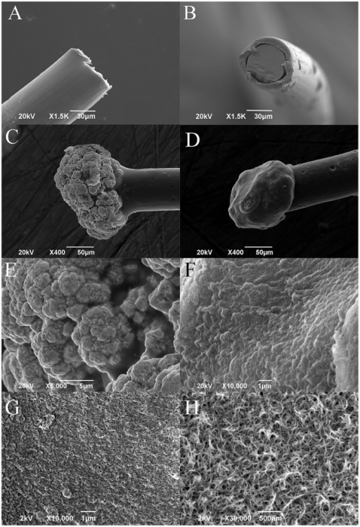 Representative SEM images of (A,B) platinum wire before deposition (lateral and frontal view), (C) gold microsphere, and (D) PEDOT-PSS-CNT coated microsphere. Higher magnification images of the surface morphology of (E) nanostructured gold and of (F) PEDOT-PSS-CNT composite obtained by Zeiss EVO 40 SEM. High resolution images of (G,H) PEDOT-PSS-CNT composite obtained by Jeol JSM-7500FA FEG-SEM.