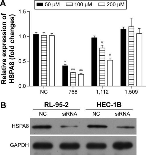 Screening of HSPA8 siRNA for knockdown of HSPA8 in RL-95-2 and HEC-1B cells.Notes: RL-95-2 cells were transfected with 50 µM, 100 µM, and 200 µM HSPA8 siRNA (768, 1,112, and 1,509) or nontargeting negative control (NC). Then, the mRNA expression of HSPA8 was performed in HSPA8-768 siRNA-transfected RL-95-2 and HEC-1B cells. (A) HSPA8-768 at 50 µM, 100 µM, and 200 µM significantly suppressed the mRNA expression of HSPA8. (B) Western blot confirmed the downexpression of HSPA8 in HSPA8-768 (100 µM)-transfected RL-95-2 and HEC-1B cells. *P<0.05 and **P<0.01 vs NC.