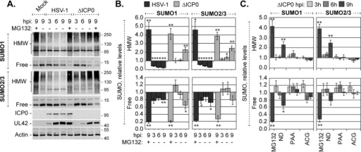 HMW SUMO-conjugated proteins do not accumulate when HSV-1 DNA does not replicate. (A) Western blots show the levels of HMW-conjugated or free SUMO1 or -2/3 during wild-type or ICP0- mutant HSV-1 infection. HFt cells infected with 10 PFU of wild-type or ICP0- mutant (ΔICP0) HSV-1 per cell in the presence (+) or absence (−) of the proteasome inhibitor MG132 were harvested at 3, 6, or 9 h postinfection (hpi). Membranes were probed for SUMO1 or -2/3, the viral protein ICP0 or UL42 to monitor infection progression, or actin as a loading control. Molecular mass markers are indicated, in kilodaltons. (B) Bar graphs show the average relative levels of HMW-conjugated or free SUMO1 or -2/3 during wild-type or ICP0- mutant HSV-1 infection. The intensities of SUMO1 or -2/3 protein bands were quantitated from Western blots as shown in panel A; quantitated levels were normalized to their respective loading controls and are expressed relative to the levels in mock-infected cells at 9 hpi (1.0). Means and standard error of the means (SEM) are shown (n ≥ 4). (C) Bar graphs show the average relative levels of HMW-conjugated or free SUMO1 or -2/3 in the presence of either of the DNA replication inhibitors PAA or ACG, MG132, or no drug (ND). Infections equivalent to those for panel A were performed in the presence or absence of the indicated drugs. The intensities of SUMO1 or -2/3 protein bands were quantitated from Western blots; quantitated values were normalized to their respective loading controls and are expressed relative to the levels in untreated mock-infected cells at 9 hpi. Means and SEM are shown (n ≥ 3). *, P < 0.05; **, P < 0.01 (Student's two-tailed t test).