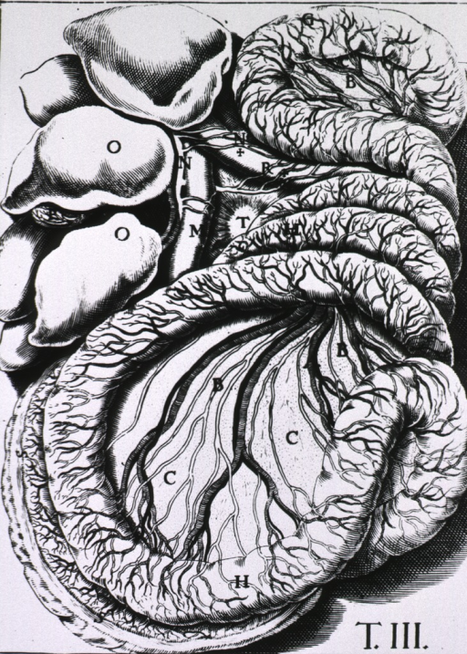 <p>Intestines and liver laid out to show lacteal vessels.</p>