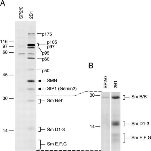 Immunoprecipitation of the SMN complex with an mAb against SMN. A, Immunoprecipitations using anti-SMN mAb 2B1 and [35S]methionine-labeled HeLa cell. The immunoprecipitated proteins were analyzed by SDS-PAGE and autoradiography (24-h exposure). Antibody 2B1 immunoprecipitates SMN, Gemin2, Sm proteins B, B′, D1-3, E, F, and G, and a group of proteins indicated as p175, p105, p97, p95, p60, and p50. The SP2/O lane shows the background of immunoprecipitation. B, A longer exposure (36 h) of the bottom part of the gel to visualize the Sm proteins more clearly. The positions of the molecular weight markers are indicated on the left (in kD).