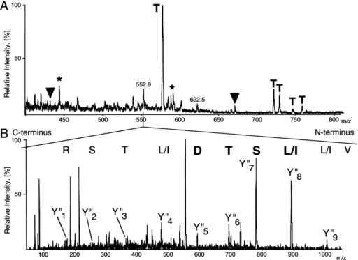 Sequencing of Gemin3 by nano-ES MS/MS. A, Part of the spectrum of the unseparated in-gel tryptic digest of p105 band. Peptide ions, designated by T, are autolysis products of trypsin and were identified by comparison with the spectrum acquired from the control sample. Other peptide ions observed in the spectrum were in turn isolated by the first mass analyzer of a triple quadrupole instrument, fragmented in the collision cell, and their tandem mass spectra acquired. Upon searching a comprehensive protein sequence database using tandem mass spectrometric data (see below) peptide ions designated with filled triangles were identified as tryptic peptides originating from PTB-associated splicing factor (P23246). The presence of PTB-associated splicing factor in the SMN complex turned out to be negative by both coimmunoprecipitation and direct binding to several components of the SMN complex (data not shown). Peptide ions designated with asterisks were identified as peptides from immunoglobulins used for immunoaffinity purification. Tandem mass spectra acquired from the peptide ions having m/z 552.9 and 622.5 did not identify any protein in a protein sequence database. However when the search was performed against a comprehensive database of expressed sequence tags (dbEST), the peptide sequence VLISTDLTSR from EST clone W65908 was identified as matching the tandem mass spectrum. After full-length sequence had been obtained (see Materials and Methods) the tandem mass spectrum acquired from the peptide ion at m/z 622.5 was matched to the peptide LNSSDPSLIGLK present in the sequence of Gemin3. B, Tandem mass spectrum, acquired from doubly charged peptide precursor ion having m/z 552.9. Continuous series of the fragment ions containing the COOH terminus of the peptide (Y′′-ions; Roepstorff and Fohlman 1984) is produced upon collisional fragmentation of tryptic peptides. A short stretch of the peptide sequence was deduced unambiguously by considering precise mass differences between adjacent Y′′-ions (in bold) observed in a part of the spectrum above m/z of the parent ion. Note that Leu and Ile residues have the same nominal mass and, therefore, are usually not distinguished by MS. The determined piece of a peptide sequence was combined with the masses of correspondent Y′′-ions and with the mass of intact peptide into a peptide sequence tag (Mann and Wilm 1994) that was subsequently used for searching protein and EST databases by the program PeptideSearch. Once the database search produced a hit, the correspondent peptide sequence was retrieved from a database and masses of the ions from the NH2-terminal fragment series (A- and B-ions) were used to verify the match. This enabled highly confident protein identification albeit a single peptide containing only ten amino acid residues was matched to the sequence of EST clone.