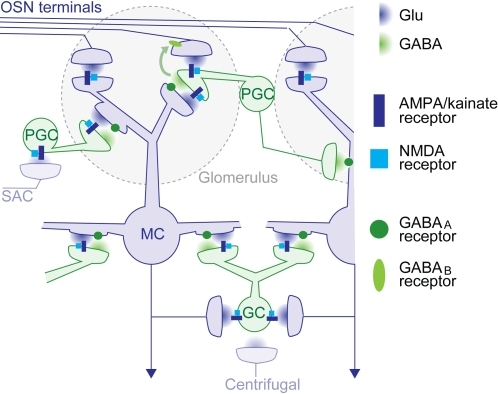 Simplified architecture of synaptic pathways in the olfactory bulb.Within glomeruli, glutamatergic olfactory sensory neurons provide excitatory synaptic input to mitral cells and a subpopulation of periglomerular cells via AMPA/kainate and NMDA receptors. Periglomerular cells also receive glutamatergic input from mitral cell dendrites and provide GABAergic output to mitral cells of the same and neighbouring glomeruli. In addition, GABA (green arrow) and dopamine (not shown) released from periglomerular cells reduces glutamate release from olfactory sensory neuron axon terminals by acting on GABAB and D2 receptors, respectively, in the same glomerulus [23], [49]–[53]. In subglomerular layers, glutamate release from mitral cell dendrites and axon collaterals stimulates granule cells via AMPA/kainate and NMDA receptors. Granule cells release GABA back onto GABAA receptors on the same and other mitral cells. Glutamate release from a mitral cell can therefore cause recurrent inhibition of the same mitral cell and lateral inhibition of other mitral cells via periglomerular and granule cells. These interactions, here collectively referred to as the mitral cell→interneuron→mitral cell pathway, can extend over distances corresponding to multiple glomeruli. An additional pathway mediating lateral inhibition that is not detailed in this scheme is the short axon cell (SAC)→periglomerular→mitral cell pathway identified in rodents [13], [54]. Centrifugal inputs from higher brain areas are also not shown in detail. Many of these inputs terminate on interneurons and are glutamatergic. Not included in the scheme are metabotropic glutamate receptors, interactions among interneurons in the granule cell layer [55], glutamate spillover [56], and a small glutamatergic subpopulation of granule cells [57]. Strong excitatory interactions across glomeruli, as revealed in the antennal lobe of Drosophila [58]–[60], have not been found in the vertebrate olfactory bulb. Abbreviations: OSN: olfactory sensory neuron, PGC: periglomerular cell, MC: mitral cell, GC: granule cell, SAC: short axon cell.