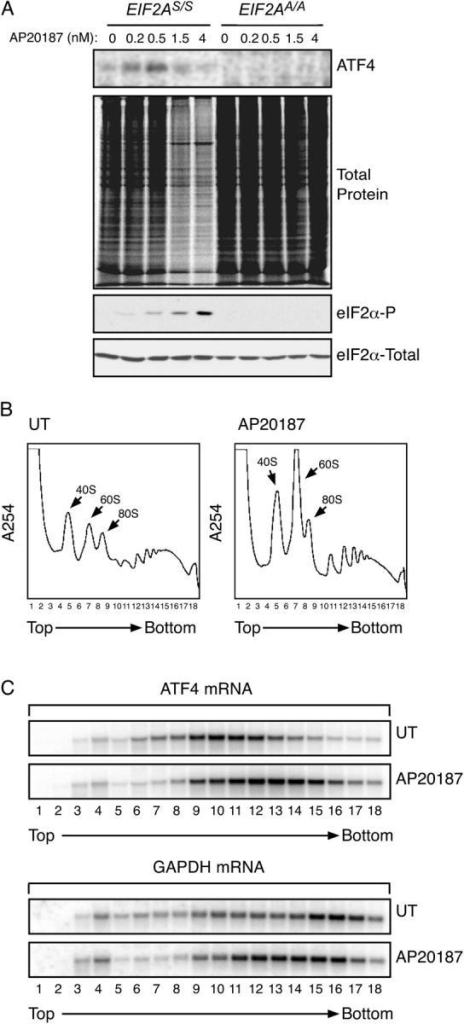 EIF2α phosphorylation is sufficient to up-regulate ATF4 translation. (A) Autoradiogram of SDS-PAGE of radiolabeled proteins after a brief labeling pulse of Fv2E-PERK expressing wild-type (EIF2AS/S) or mutant (EIF2AA/A) mouse fibroblasts pretreated for 30′ with the indicated concentration of the AP20187 activating ligand. The panels (from top to bottom) show immunoprecipitated radiolabeled endogenous ATF4, all radiolabeled newly synthesized proteins, and immunoblots of phosphorylated and total eIF2α. (B) Polysome profiles of mRNA isolated from untreated mouse fibroblasts and the same cells 60′ after induction of eIF2α phosphorylation by activation of the ligand-inducible Fv2E-PERK eIF2α kinase. Note the accumulation of ribosomal subunits and monosomes in the treated cells. (C) Northern blot analysis of ATF4 and GAPDH mRNA from fractions collected from the gradient shown in B. Note the shift to the right, (heavier) fractions in the peak of the ATF4 mRNA in the treated cells and the shift in opposite direction of the GAPDH peak.