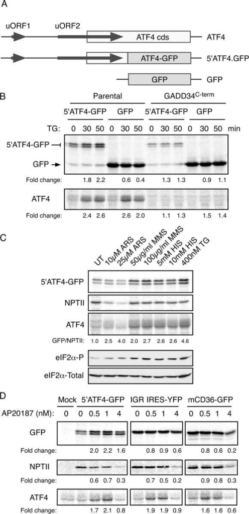 The 5′ end of the ATF4 mRNA mediates translational regulation of the gene. (A) Organization of the 5′ end of the mouse ATF4 mRNA, the derivative 5′ATF4-GFP reporter and the parental GFP reporter. (B) Autoradiogram of SDS-PAGE of radiolabeled proteins after a brief labeling pulse of wild-type CHO cells or cells stably overexpressing the COOH terminus of GADD34 (which blocks eIF2α phosphorylation) transfected with the indicated reporter plasmids. The cells were treated with the endoplasmic reticulum stress-inducing agent thapsigargin (TG) for the indicated time and the encoded GFP fusion proteins (top) and endogenous ATF4 (bottom) were immunoprecipitated with specific antibodies. (C) Autoradiogram of SDS-PAGE of radiolabeled proteins after a brief labeling pulse of CHO cells transfected with the ATF4-GFP reporter and pretreated for 30 min with the indicated concentration of arsenite (ARS), the electrophile methyl-methanesulfonate (MMS), histidinol (HIS, which activates GCN2), thapsigargin (TG), and the encoded GFP fusion proteins (top), the NPTII, encoded by a different gene on the same plasmid (second panel) and endogenous ATF4 (third panel) were immunoprecipitated with specific antisera. The GFP/NPTII ratio provides an estimate of the translational inducibility of the reporter in the treated cells. Immunoblots of phosphorylated (eIF2α-P) and total eIF2α from parallel lysates are shown in the bottom panels. (D) Autoradiogram of radiolabeled proteins from Fv2E-PERK expressing CHO cells treated with the indicated concentration of the activating AP20187 ligand for 30′ before and during the 20′ labeling pulse. The cells were transfected with the ATF4 reporter (5′ATF4-GFP), a cricket paralysis virus internal ribosome entry site reporter (IGR IRE5-YFP) or a GFP translational reporter derived from the 5′ end of mouse CD36 gene (mCD36-GFP). GFP, endogenous ATF4 and NPTII were immunoprecipitated as in C with specific antisera.