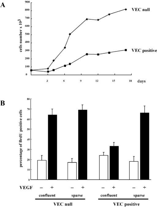 Confluence and VE-cadherin expression inhibit endothelial proliferation induced by VEGF. (A) Growth curve of endothelial cells expressing (VEC positive) or not expressing (VEC ) VE-cadherin. Cells (seeding 30,000/cm2) were cultured in complete culture medium. At the indicated time point, cells were detached and counted. The standard deviation in three independent experiments was between 5 and 10% of the mean values. (B) Confluent (100,000/cm2) and sparse (20,000/cm2) VEC-positive and VEC- cells were stimulated with VEGF (80 ng/ml) for 24 h. BrdU (30 μM) was added during the last 4 h. A total of 300 nuclei in random fields for each treatment were scored. The mean values of three independent experiments ± SD are shown.
