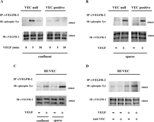 VE-cadherin expression and clustering inhibit VEGFR-2 tyrosine phosphorylation. (A) Confluent VEC- and -positive endothelial cells were stimulated with VEGF (80 ng/ml) for the indicated time intervals. Cell extracts were immunoprecipitated with antibodies to VEGFR-2 (IP αVEGFR-2) and immunoblotted (IB) with antibodies to phosphotyrosine (αphosphoTyr) and VEGFR-2 (αVEGFR-2). A similar experimental procedure was used for B–D. In the representative experiment shown, tyrosine-phosphorylated VEGFR-2 normalized over total VEGFR-2 was 0.5-, five-, and twofold more in VEC- than in VEC-positive cells at time 0, 5, and 30 min, respectively. In 15 independent experiments, the range of increase at 5 min was from two- to sevenfold. (B) Tyrosine phosphorylation of VEGFR-2 in response to VEGF (80 ng/ml for 5 min) in sparse VEC- and -positive endothelial cells was comparable. (C) In HUVEC, phosphorylation of VEGFR-2 in response to VEGF (80 ng/ml for 5 min) was lower in confluent than in sparse cultures (range three- to fivefold lower in four experiments). (D) Addition of antibodies to VE-cadherin (anti-VEC, 100 μg/ml) for 1 h increased receptor phosphorylation by VEGF (80 ng/ml, for 5 min). In response to VEGF, the phosphotyrosine content in VEGFR-2 was higher (from three- to fourfold in three experiments) in cells pretreated with VE-cadherin antibody. The antibody to VEGFR-2 recognized two bands at a molecular mass of ∼200 kD. Only the higher molecular mass band, representing the mature form of the receptor, was phosphorylated in tyrosine, as also described by Takahashi and Shibuya (1997). In the following figures, we therefore show only the heavier band of the doublet, which represents the phosphorylable pool of VEGFR-2.