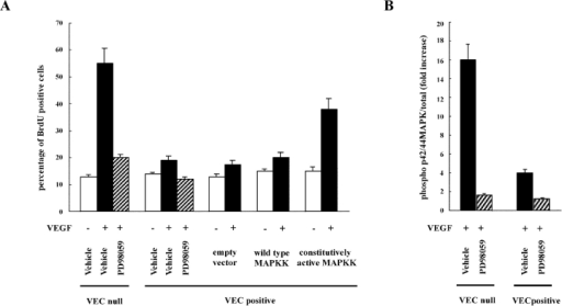 Inhibition of p44/42 MAP kinase phosphorylation correlates with reduction of BrdU incorporation in VEC- endothelial cells. (A) Confluent VEC- or -positive cells were treated with PD98059 (100 μM) for 20 min before challenge with VEGF (80 ng/ml for 10 min). VEC-positive cells were transfected with a constitutive active or wild-type MAP kinase kinase (MAPKK) construct or the empty vector. Nuclear incorporation of BrdU was evaluated after 24 h as in the legend to Fig. 1. PD98059 strongly inhibited proliferation of VEC- cells in response to VEGF. Proliferation of VEC-positive cells was very low and was inhibited by the drug. Constitutively active MAPK kinase partially restored BrdU incorporation in response to VEGF in VEC-positive cells. (B) The concentration of PD98059 used in A was able to strongly inhibit phosphorylation of p44/42 MAP kinase after a 10-min stimulation with VEGF (80 ng/ml). Each column represents the fold increase of the ratio between phosphorylated and total values in VEGF-stimulated over the respective unstimulated condition. Data are means ± SD of three independent experiments. The vehicle is DMSO added at the same final concentration (0.1%) as in PD98059-treated cells.