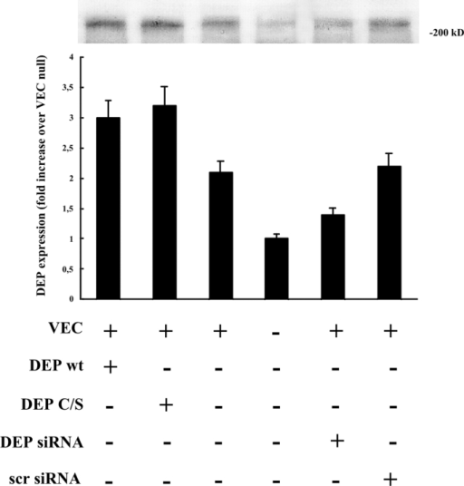 Expression of tyrosine phosphatase DEP-1 in VEC-positive and -negative cells and effect of transfection of wild-type and DEP-1 C/S constructs and DEP-1 RNAi. In VEC-positive endothelial cells (third lane), DEP-1 was 80–90% higher than in VEC  (fourth lane). In VEC-positive cells, transfection of wild-type (wt, first lane) or point-mutated (C/S, second lane) DEP-1 constructs resulted in increased expression of the protein (50–60% more than in control VEC positive). siRNA directed against DEP-1 (DEP siRNA) resulted in 35–40% inhibition of DEP expression (fifth lane). Scramble oligonucleotides (scr siRNA), used as control (100 nM as DEP siRNA oligonucleotide), were ineffective. Plus and minus indicate the presence or the absence of the protein indicated on the left. The columns report the mean of four experiments ± SD.