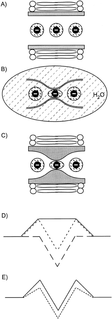 "Model for permeation in Cl channels that exhibit lyotropic selectivity. (A) A channel that does not bind ions. An anion is indicated in three locations along with its inner sphere water molecules. (B) The inner ""lining"" of the wtCFTR pore, with its anion binding site, suspended in water, with an anion in the proposed narrow region in which elements of the pore wall make inner sphere contact with the anion. (C) The wtCFTR channel with its anion binding site in a lipid bilayer. (D) The energetics of transfer. The solid trapezoidal line represents the energetic expense associated with partitioning into a ""polarizable"" tunnel embedded in a bilayer, envisioned in A. The dashed line represents the energetic well seen by an anion in the narrow region of the pore wall in free solution, as envisioned in B. The dotted line represents the profile of the total free energy (A + B) associated with traversing the wtCFTR channel embedded in a bilayer. The well depth and peak height are predicted to change in a parallel fashion due to the anion size-dependent changes in the free energy, which is shown in E for Cl (solid line) and a larger anion (dashed line), such as SCN. Anions that enter the channel more readily also bind more tightly."