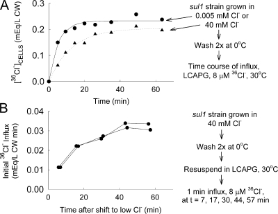 Activation of high affinity Cl− transport following shift from 40 mM Cl− to low Cl− medium. (A) Cells (sul1) were grown overnight in LCAPG with no added Cl− (∼0.005 mM; •) or 40 mM added NaCl (▴), and then washed twice in cold LCAPG, resuspended in LCAPG, pH 4.5, 30°C, with 8 μM Na36Cl, and the accumulation of 36Cl− measured over the next 50 min. (B) Cells (sul1) were grown in APG + 40 mM NaCl, washed twice in cold LCAPG, and suspended at t = 0 in LCAPG, pH 4.5, 30°C. At the indicated times, 8 μM Na36Cl was added and the tracer influx measured for 1 min. Data are from two separate cell preparations.