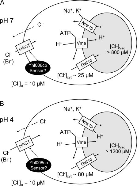 Possible transport mechanisms accounting for the cellular accumulation of Cl− in pH 7.0 (A) or pH 4.0 (B) media containing 10 μM Cl−. The elevated cellular Cl− content is proposed to be a consequence of two processes. (1)Influx across the plasma membrane via a high affinity Cl− transporter (HACT), which is regulated by a mechanism that includes Yhl008c (depicted here on the plasma membrane, but the actual cellular location is not known). The Cl− gradient across the plasma membrane is higher at extracellular pH 4.0 than at pH 7, consistent with H+–Cl− cotransport across the plasma membrane. The dashed arrow represents downhill efflux of Cl− through a pathway that is unknown but must be very slow in a low Cl− medium (Fig. 5 B). (2) Sequestration of Cl− in the vacuole or prevacuolar compartment by a process that is powered by the V-ATPase (Vma), with Cl− transport (probably as Cl−/H+ exchange; see text) through Gef1p, and the pH gradient modulated by Nhx1p.