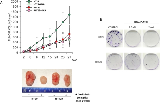 Analysis of HT29 and RHT29 growth rate.A) HT29 and RHT29 cells were subcutaneously inoculated into nude mice. Two weeks later, animals were treated with oxaliplatin 10 mg/kg once a week for 27 days. Results illustrate tumor volume and are represented as mean±SEM for 10 animals per group. The lower panel is a representative image of tumors obtained from animals treated or not with oxaliplatin. B) Growth kinetics was studied by colony formation assay. This representative image shows that HT29 cells are not able to grow under oxaliplatin treatment compared to RHT29 cell line. However, HT29 cells have a higher clonogenic capacity than RHT29 after 21 days of growth. OXA: oxaliplatin.