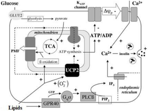 Regulation of insulin secretion by glucose and lipids. Description: Insulin secretion is influenced by plasma glucose and lipids that activate on one hand glycolysis and production of pyruvate, and on the other hand β-oxidation and ATP synthesis.