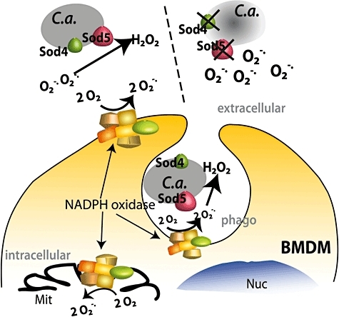 Model for Sod4 and Sod5-mediated protection against respiratory burst. Upon contact with BMDMs and mDCs, Sod4 and Sod5 anchored at the C. albicans (C.a) surface (left) degrade superoxide anions (O2−) to hydrogen peroxide (H2O2). The lack of the Sod4 and Sod5 (right) causes ROS accumulation in the medium and perhaps inside the phagosomes (phago), which results in enhanced killing of C. albicans. Production of mitochondrial ROS (Mit) is unaffected.
