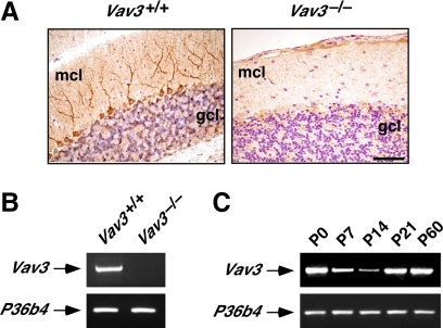 Vav3 is expressed in Purkinje and granular cells of the mouse cerebellum. (A) Anti-Vav3 immunohistochemical analysis of sagittal cerebellar sections obtained from wild-type (left) and Vav3−/− (right) mice. mcl, molecular cell layer; gcl, granular cell layer. Bar, 50 μm. Detection of Vav3 immunoreactivity is observed in sections from wild-type animals in both Purkinje cells and in scattered areas of the granular cell layer. (B) Total RNA samples obtained from wild type and Vav3−/− granular cell cultures were subjected to RT-PCR analysis using oligonucleotide primers specific for the mouse Vav3 cDNA (top). As control, aliquots of the same RNAs were amplified using oligonucleotide primers specific for the mouse P36b4 cDNA (bottom). Final PCR products were separated electrophoretically in agarose gels and photographed. (C) Total RNAs obtained from the cerebella of wild-type mice at the indicated postnatal (P) stages were subjected to RT-PCR analysis using oligonucleotide primers for the mouse Vav3 (top) and P36b4 (bottom) cDNAs and processed as indicated above. These results of this figure show that Vav3 is expressed at different levels in the cerebellum in a developmental-dependent manner (C). Furthermore, Vav3 is expressed in this tissue at least in Purkinje (A) and granule cells (B).