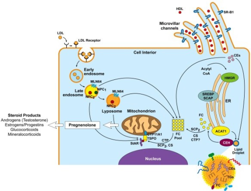 steroidogenic acute regulatory protein an update on its regulation and mechanism of action