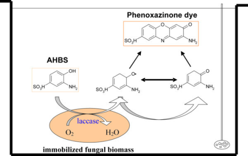 Conversion of 3-amino-4-hydroxybenzenesulfonic acid (AHBS) by immobilized fungal biomass. AHBS is oxidized to the phenoxy radicals and/or quinones, which can coupled non-enzymatically to coloured phenoxazinone compound [7].