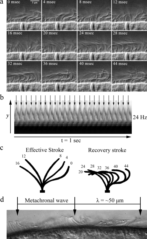 Physical properties of planarian ciliary motility. Assessment of planarian ciliary beat frequency and waveform by high-speed video microscopy captured at 250 frames/s using DIC optics. (a) Sequential frames (4 ms apart) of planaria cilia undergoing a single beat cycle. Cilia complete a full beat cycle in 35–45 ms (∼24 Hz; also see Movie S1). Neighboring cilia synchronize their beating and form metachronal waves that are propagated along the plane of the ciliary beat. (b) Kymograph from the decompiled video of beating cilia over a 1-s period, illustrating 24 successive ciliary beat cycles. (c) Traces of a single cilium depicting its position at 4-ms intervals during a complete beat cycle. Planarian cilia beat with an asymmetric waveform consisting of an effective and a recovery stroke; the effective stroke is completed in ∼15 ms representing one-third of the ciliary beat cycle. (d) A single video frame depicting the formation of metachronal waves from the coordination of neighboring cilia. The wavelength of the metachronal wave is ∼50 μm.