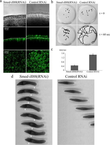 Cilia are required for gliding locomotion in planarians. (a) Cilia from Smed-ift88(RNAi) and control-treated animals were observed using DIC optics (top panels). In addition, planaria were stained with anti-α-tubulin antibody (clone B-5-1-2) and visualized using confocal microscopy (side view, middle panel; top view, bottom panel). Analysis showed a substantial decrease in the number of cilia in the Smed-ift88(RNAi) flatworms compared with control. The dotted lines in the middle panels mark the apical surface of the ventral epithelium. The numerous bright puncta visible on the ventral surface of Smed-ift88(RNAi) animals derive from nonspecific binding of the secondary antibody to mucus associated with the gland cells. (b) Initial frame (t = 0; top panel) and overlays of sequential frames (t = 60 s; bottom panel) from 60-s video segments, illustrating the distance traveled by individual flatworms in Smed-ift88(RNAi) and control-treated groups. (c) Quantification of gliding velocity in RNAi- and control-treated animals. Smed-ift88(RNAi) animals moved at ∼0.46 mm/s (n = 23, sem = 0.013) compared with ∼1.47 mm/s (n = 27, sem = 0.02) for the control group. (d) Sequential video frames (1.5 s apart) illustrating the differences in the general mode of movement between Smed-ift88(RNAi) and control-treated animals. Smed-ift88(RNAi) flatworms display no gliding locomotion and travel using peristaltic muscular movements. Arrowheads show peristaltic muscular waves as they propagate along the body (also see Movies S3 and S4).