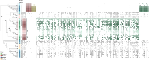 Analysis of genome content by reference microarray.The dendrogram is derived from UPGMA analysis of binary data generated from 57 strains of Lactobacillus reuteri. Bootstrap scores, using 10,000 repetitions of a UPGMA search, are shown on nodes scoring >50%. Each strain is color coded by host, and affiliation to MLSA lineages of each strain is indicated. MARKFIND was used to identify gene polymorphisms specific to human (MLSA lineage II) and rodent strains (mostly MLSA lineages I and III), which clustered in the dendrogram. The leaves of human (lineage II) and rodent strains, which have been used for comparisons by MARKFIND, are colored blue and red, respectively. The two reference strains, 100-23 and F275, are labeled by a red and a blue circle, respectively. Vertical rectangles to the right depict polymorphisms present in a given strain sorted by the MARKFIND program. Those polymorphisms conserved within all members of a lineage and absent in the other lineage are colored red. Genes that are lineage-specific but non conserved are colored green (polyphyletic) or yellow (monophyletic). Polymorphisms that are not lineage specific are not shown.