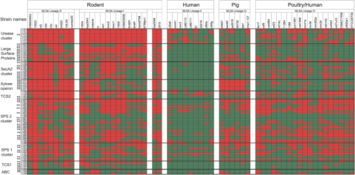 Distribution of genes that belong to putative genomic islands in 57 L. reuteri strains.The strains are arranged by host and MLSA lineage [20]. Red and green colors indicate presence or absence, respectively. Genes that have been identified as rodent-specific when compared to human lineage II strains by MARKFIND are indicated by asterisks (**).