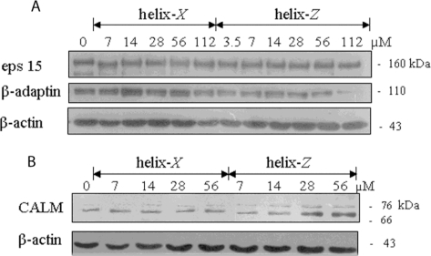 Endocytic protein expression in microglial cells treated with helix-X and helix-Z. Both peptides were previously incubated 120 h at 37 °C. (A) Western blot analysis of eps 15 and β–adaptin; (B) Western blot analysis of clathrin assembly lymphoid myeloid leukemia (CALM) protein. β-actin was used as loading control.