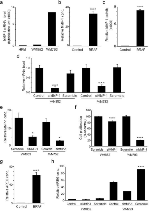Activated BRAF promotes melanoma cell growth by MMP-1(a) Relative MMP-1 mRNA levels in HPMs and melanoma cells expressing wildtype (WM852), or mutant BRAF (WM793). (b) Relative levels of secreted MMP-1 in conditioned media obtained from HPMs expressing GFP or BRAFV600E at 72 hours following lentiviral infection. (c) Relative MMP-1 collagenase activity in conditioned media obtained from HPMs expressing GFP or BRAFV600E at 72 hours following lentiviral infection. (d) qRT-PCR analysis of MMP-1 expression following gene silencing by siRNA in melanomas possessing either wildtype (WM852) or mutant BRAFV600E (WM793). (e) Relative MMP-1 concentration in cell culture media following MMP-1 gene silencing in melanomas possessing wildtype (WM852) and BRAFV600E (WM793) cells. (f). 3H-thymidine cell proliferation assay of melanomas possessing wildtype (WM852) and BRAFV600E (WM793) following MMP-1 gene silencing. (g) Relative expression of activated AREG in conditioned media from HPMs expressing GFP or BRAFV600E. (h) Relative expression of activated AREG in melanomas expressing wildtype (WM852), or mutant BRAF (WM793) following MMP-1 gene silencing. Columns, mean of three individual experiments done in triplicate; bars, SD. *, P < 0.05, **, P < 0.01, ***, P < 0.001, compared with GFP control in the Figure 2b, c, g, and compared with siRNA control (Scramble) in the Figure 2d, e, f, h.