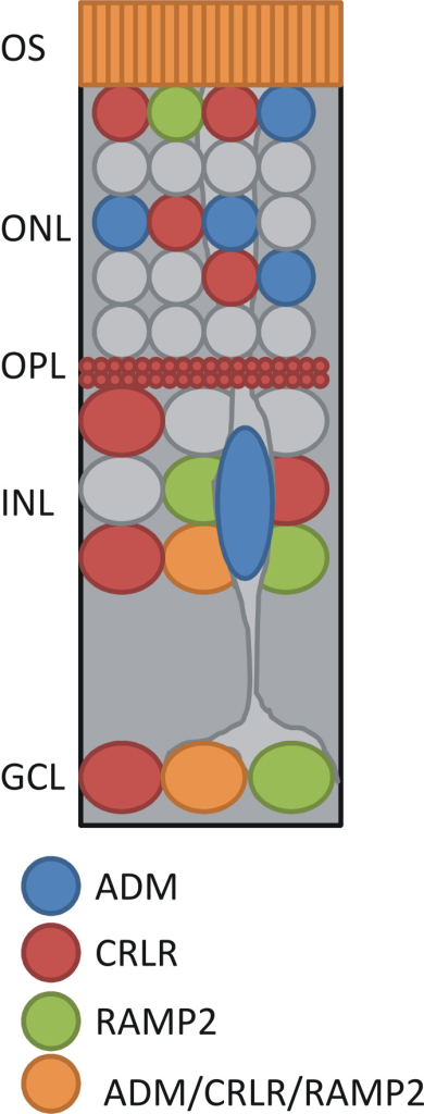 Summary of the cellular localization of the ADM signaling pathway in the retina. ADM was present near the outer segments (OS), in somata in the INL and the GCL, and in Müller cells. CRLR and RAMP2 were present near the OS, and in somata in the ONL, INL, and GCL. ADM, CRLR, and RAMP2 were colocalized near the OS, and in somata in the INL and the GCL.