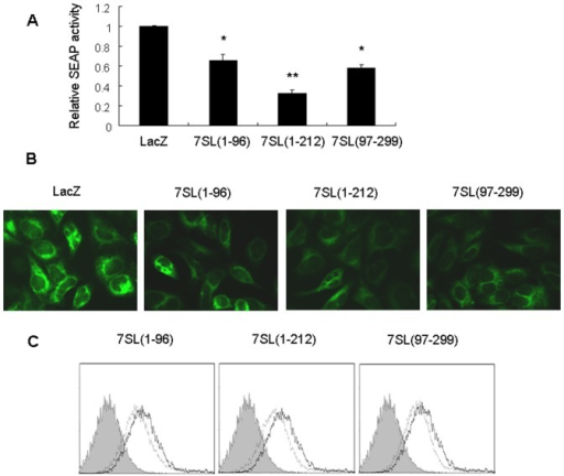 7SL RNA fragments repress SRP-mediated protein targeting.(A) HEK293T cells were co-transfected with the pSEAP2-control plasmid and different 7SL RNA fragments or the control RNA (LacZ RNA), and SEAP activity was determined 48 h post-transfection, *p<0.05, **p<0.01 compared with control RNA. (B) HEK293T cells stably expressing ECFP-ER were transfected with different 7SL RNA fragments or LacZ RNA. Fluorescence was detected 48 h after transfection. (C) HepG2.2.15 cells were transfected with different 7SL RNA fragments or LacZ RNA, and cell surface glycoproteins were measured 48 h after transfection. Horizontal and vertical axes denote intensity of fluorescence and number of events, respectively. The filled histogram represents unstained cells, the thick line represents cells transfected with LacZ RNA, and the dashed line represents cells transfected with the 7SL RNA fragment.