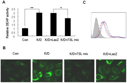 The 7SL RNA fragment mixture partially restores SRP function in Dicer-knockdown cells.(A) HepG2.2.15 cells were co-transfected for 48 h with the pSEAP2-control and either shDCR or shCon plasmids. The Dicer-knockdown cells (K/D) were then transfected with the 7SL RNA fragment mixture (7SL mix) or LacZ RNA, and SEAP activity was determined 48 h after the second transfection. *p<0.05, **p<0.01. (B) HEK293T cells that stably expressed ECFP-ER were pretreated with siDCR for 48 h, and then co-transfected with 7SL mix or LacZ RNA and siDCR. Fluorescence was detected 48 h after the second transfection. Cells treated twice with siDCR (K/D) or siCon (Con) served as controls. (C) HepG2.2.15 cells pretreated with siDCR for 48 h were co-transfected with 7SL mix and siDCR. The levels of cell surface glycoproteins were measured 48 h after the second transfection. Cells treated twice with siDCR or siCon served as controls. Horizontal and vertical axes denote intensity of fluorescence and the number of events, respectively. The filled histogram represents unstained cells, the red line represents cells transfected with siCon, the black line represents cells transfected with siDCR, and the blue line represents cells co-transfected with siDCR and the 7SL mix.