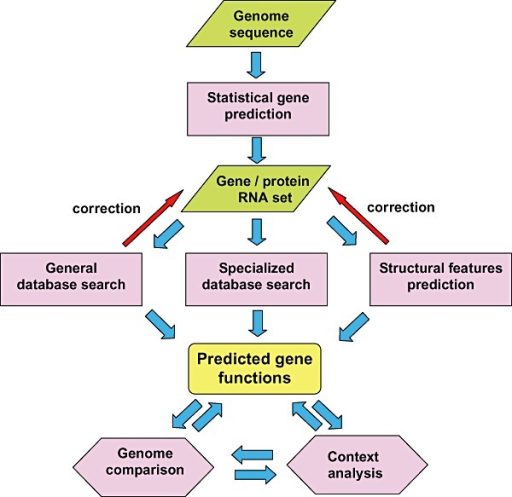 A generalised flow chart of genome annotation. Statistical gene prediction: use of methods like GeneMark or Glimmer to predict protein‐coding genes. General database search: searching sequence databases (typically, NCBI NR) for sequence similarity, usually using blast. Specialized database search: searching domain databases (such as Pfam, SMART and CDD), for conserved domains, genome‐oriented databases (such as COGs), for identification of orthologous relationship and refined functional prediction, metabolic databases (such as KEGG) for metabolic pathway reconstruction and other database searches. Prediction of structural features: prediction of signal peptide, transmembrane segments, coiled domain and other features in putative protein functions.